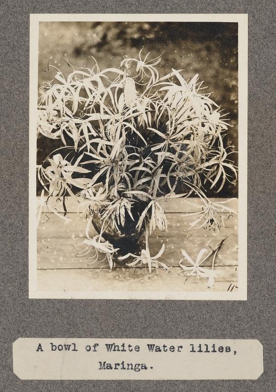 A bowl of white water-lilies, Maringa