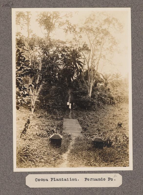 Cocoa plantation, Fernando Po.