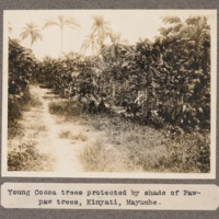 Young Cocoa trees proptected by shade of Paw-paw trees, Kinyati, Mayumbe