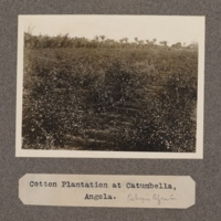 Cotton plantation at Catumbella, Angola