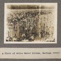 A field of white water-lilies, Maringa River