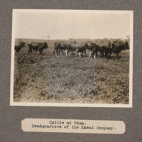 Cattle at Dima. Headquarters of the Kasai Company
