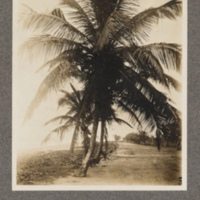 Cocoa-nut palms in Lomé, Togoland
