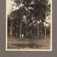 Hevea braziliensis at Mongai, Kasai District