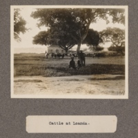 Cattle at Loanda