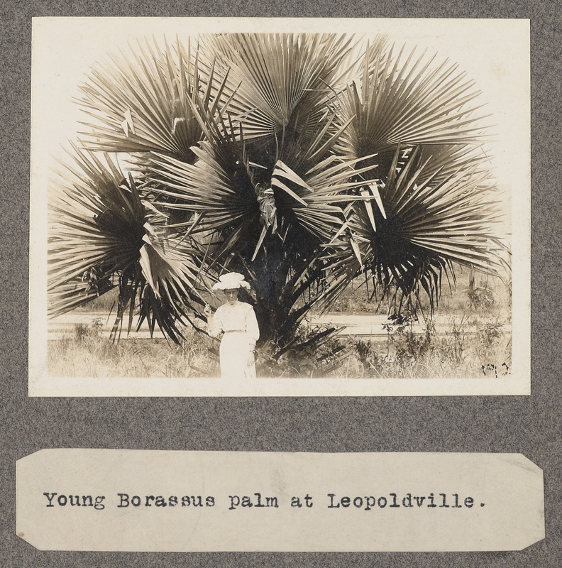 Young Borassus palm at Leopoldville