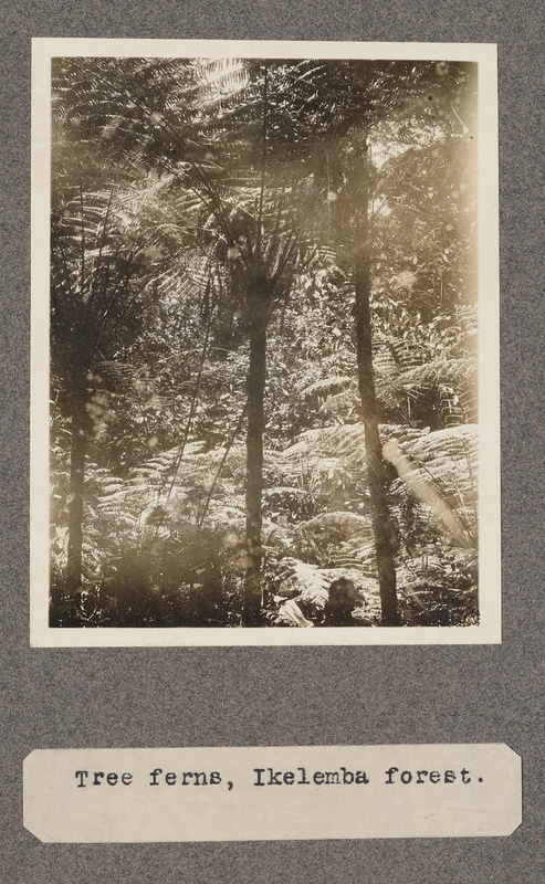 Tree ferns, Ikelemba forest