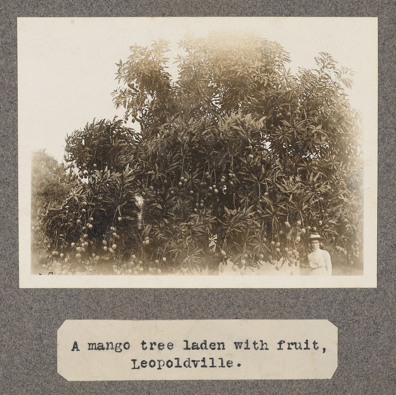 A mango tree with fruit Leopoldville